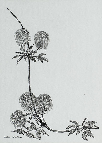 Alpine clematis, Clematis alpina (2000) - Ink on paper - 15.8x11.4 cm