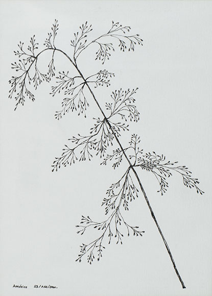 Silvery Hair-grass, Aira caryophyllea (2000) - Ink on paper - 15.8x11.4 cm